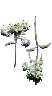 Biologisch Edelweiss